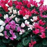 'Sweet Scented' Mix is a hardy perennial with marbled foliage and flowers in shades of light rose-pink, crimson and white in winter. Cyclamen 'Sweet Scented' added by Shoot)