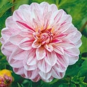 'Bonesta' is a tuberous perennial with divided, green foliage and pink and white flowers in summer and autumn. Dahlia 'Bonesta' added by Shoot)