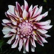 Dahlia 'Caribbean Fantasy' (09/04/2012)  added by Shoot)
