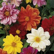 'Disco Dancer' Mix is a dwarf, tuberous perennial with divided green foliage and crimson, orange, red, pink, yellow or white flowers in summer and autumn. Dahlia 'Disco Dancer'  added by Shoot)