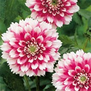'Fuzzy Wuzzy' is a tuberous perennial with divided, green foliage and large, bicoloured, bright pink flowers with fuzzy-toothed white tips in summer and autumn. Dahlia 'Fuzzy Wuzzy' added by Shoot)