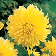 'Kelvin Floodlight' is a tuberous perennial with divided, dark green foliage and large, double, yellow flowers in summer and autumn. Dahlia 'Kelvin Floodlight' added by Shoot)