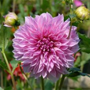 'Lavender Perfection' is a tuberous perennial with divided green foliage and lavender flowers in summer and autumn. Dahlia 'Lavender Perfection' added by Shoot)