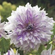 'Mom's Special' is a tuberous perennial with divided mid-green foliage and giant, double, white flowers with purple streaks blooming  in summer and autumn. Dahlia 'Mom's Special' added by Shoot)