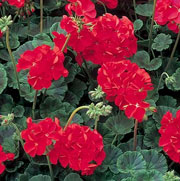 Pelargonium 'Vista Red'