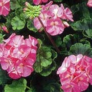 'Vista Rose' is a tender evergreen perennial with soft, rounded leaves and clusters of rose flowers in summer and autumn. Pelargonium 'Vista Rose' added by Shoot)