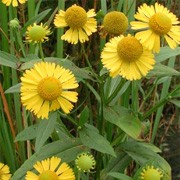 Helenium autumnale added by Shoot)