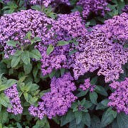 'Marine' is a tender, bushy evergreen perennial with dark green, wrinkled leaves and fragrant, blue or violet flowerheads in summer. Heliotropium arborescens 'Marine' added by Shoot)