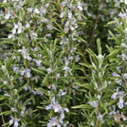 Rosmarinus officinalis added by Shoot)