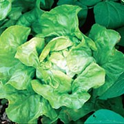 'Buttercrunch' is a small lettuce that has soft, green outter leaves and a crispy inner heart and can be harvested from spring until autumn.  Lactuca sativa 'Buttercrunch' added by Shoot)