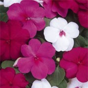 'Merlot' Mix is a trailing annual with red, pink, crimson or white flowers in summer. Impatiens walleriana 'Merlot' added by Shoot)