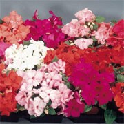 'Candy' Mix is a compact, half-hardy annual  with large flowers in ten colours-reds, pinks, crimsons or white in summer. Impatiens sultani 'Candy' added by Shoot)