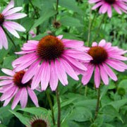 'Magnus' is an upright, clump-forming perennial with toothed, dark green leaves and large, purple-pink petals surrounding a dark orange cone in midsummer to mid-autumn.