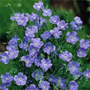 'Blue Dress' is an upright, annual with fine green foliage and shallow, cup-like flowers that bloom from summer until autumn in shades of red, salmon, pale pink and white, with a darker centre. Linum grandiflorum 'Blue Dress' added by Shoot)