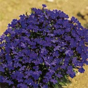 'Skylark' is a spreading, trailing, low-growing annual. It has small, dark-green leaves and a dense covering of blue-purple flowers in summer and autumn.  Lobelia 'Skylark' added by Shoot)