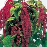 'Crimson Tassels' is a mid-sized annual or biennial plant with large ovate, mid-green leaves. It is grown for its long, distinctive, pendant, deep-red to gold catkins that appear in summer and autumn. Amaranthus caudatus 'Crimson Tassels' added by Shoot)