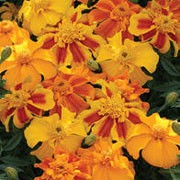 'Sunburst' Triploid F1 is a compact tender annual, with grey-green divided foliage and orange-yellow flowers in summer. Tagetes erecta 'Sunburst' added by Shoot)