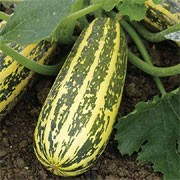'Tiger Cross' F1 is a bushy, trailing perennial often cultivated as an annual. It has green leaves and yellow flowers that develop into elongated green, striped fruits of good length. It is an early maturing type, resistant to Cucumber mosaic virus. Cucurbita pepo 'Tiger Cross' added by Shoot)
