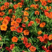'Crackling Fire', part of the 'Million Bells' Series, are mounded annuals with small, orange or yellow striped flowers in summer and autumn. Calibrachoa 'Million Bells Crackling Fire' added by Shoot)