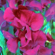 'Memories' is a vigorous annual that climbs with the use of tendrils. It has greyish-green leaves and in summer bears relatively heavily-scented, long stemmed purple-mauve flowers. Lathyrus odoratus 'Memories' added by Shoot)