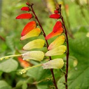 Ipomoea lobata added by Shoot)