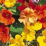 'Jewel' Mix is a climbing or trailing annual.  It has rounded green leaves and in summer bears flowers in shades of orange and yellow. Tropaeolum majus 'Jewel' Mix added by Shoot)
