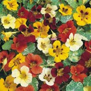 'Jewel of Africa' Mix is a climbing annual.  It has rounded cream and green leaves and in summer bears single flowers in shades of red, orange and yellow. Tropaeolum majus 'Jewel of Africa' Mix added by Shoot)