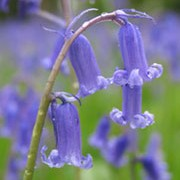 Hyacinthoides non-scripta added by Shoot)