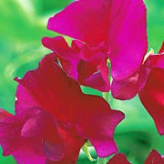 'Oliver Cromwell' is a climbing  annual with grey-green leaves and large bright pink flowers that bloom throughout summer. Lathyrus odoratus 'Oliver Cromwell' added by Shoot)
