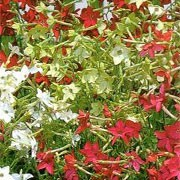'Domino' F1 Mix is a biennial grown for its star-shaped, fragrant flowers in shades of red, pink, crimson and white, including some picotees, that are produced from late summer to autumn. Nicotiana alata 'Domino' F1 Mix added by Shoot)