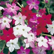 'Perfume' F1 Mix is a biennial grown for its star-shaped, fragrant flowers in shades of red, pink and white, that are produced from late summer to autumn. Nicotiana alata 'Perfume' F1 Mix added by Shoot)