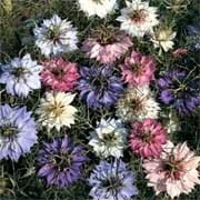 'Persian Jewels' is a tall annual producing masses of cornflower-like white, pink, rose-red, mauve or purple flowers for a short term in summer.