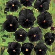 'Black Beauty' is a compact biennial/perennial grown for its clear black pansy flowers in winter and spring.  Viola x wittrockiana 'Black Beauty' added by Shoot)