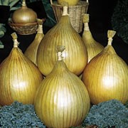 'Exhibition' is a bulbous perennial cultivated as a vegetable with strap-like, green leaves and large, round, edible, straw-coloured bulbs that can be up to 7 lbs with care by mid-summer. Allium cepa 'Exhibition' added by Shoot)
