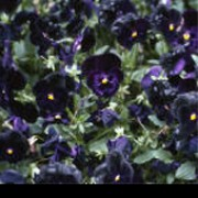 'Halloween' is a biennial that can be grown as an half-hardy annual. It has dark green leaves with scalloped margins and yellow, deep purple or white flowers.  Flowering can take place in mid-winter, spring, summer or early autumn, depending on when seed is sown.