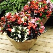 'President' F1 Mix is a half-hardy, trailing annual with green or bronze foliage and double flowers in white, pink, rose and salmon or scarlet shades in summer. Begonia 'President' F1 Mix added by Shoot)
