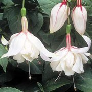'Happy Wedding Day' is a trailing, deciduous shrub with dark green leaves and double, pink-flushed, white flowers blooming from summer to autumn.  Fuchsia 'Happy Wedding Day' added by Shoot)