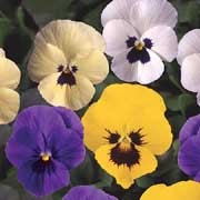 'Fragrant Fanfare' F1 is a trailing biennial/perennial grown for its fragrant flowers in purple, white or cream but mostly yellow shades in winter and spring. Viola x williamsiana 'Fragrant Fanfare' F1 added by Shoot)