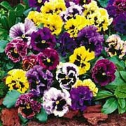 'Frizzle Sizzle' is a compact biennial/perennial grown for its flowers in shades of blue, burgundy and yellow, with ruffled edges, in autumn and winter. Viola x wittrockiana 'Frizzle Sizzle'  added by Shoot)
