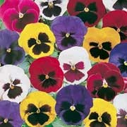 'Giant Fancy' Mix is a compact biennial/perennial grown for its flowers in shades of purple, violet, mahogany red and yellow flowers, with dark blotches at petal base, in autumn and winter. Viola x wittrockiana 'Giant Fancy' Mix added by Shoot)