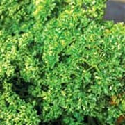 'Favorit' is an evergreen, upright, biennial herb with curled, very dark green leaves. It produces yellow clusters of flowers in the summer. Good winter hardiness. Petroselinum crispum 'Favorit' added by Shoot)