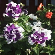 'Velvet Falls' is a trailing border plant with star shaped purple and white flowers throughout the summer.  Petunia 'Velvet Falls' added by Shoot)