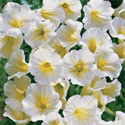 'Surfinia Vanilla' is a trailing or spreading annual with velvety, white ruffled flowers through summer. Petunia x hybrida 'Surfinia Vanilla' added by Shoot)
