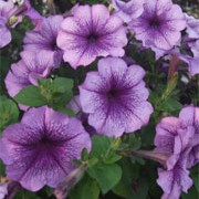'Surfinia Blue Vein' is a trailing or spreading annual with velvety, pale lavender to white ruffled flowers with purple-blue veins through summer. Petunia x hybrida 'Surfinia Blue Vein' added by Shoot)