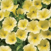 'Surfinia Yellow' is a trailing or spreading annual with velvety, yellow ruffled flowers through summer. Petunia x hybrida 'Surfinia Yellow' added by Shoot)