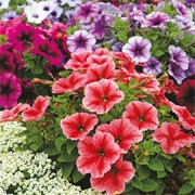 'Reflections' F1 Mix is a dwarf, spreading annual with single trumpet-shaped flowers in shades of red, rose, pink, plum, and white, with darker veining, in summer. Petunia floribunda 'Reflections' Mix added by Shoot)