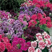 'Duo Double' Mix is a trailing or spreading annual with velvety, ruffled, double, carnation-like flowers in shades of burgundy, peppermint, red, rose, white, salmon and silver through summer. Petunia multiflora 'Duo Double' Mix added by Shoot)