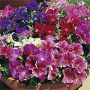 'Fantasy' F1 Mix is a compact border plant with small, trumpet-like red, rose, pink, white and lavender flowers in the summer.  Petunia milliflora 'Fantasy' F1 Mix added by Shoot)