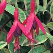 'Tom West' is an upright, lax, deciduous shrub with purple-veined, cream-and-light green, variegated leaves and small, single, reddish-pink and purple flowers blooming in summer. Fuchsia 'Tom West' added by Shoot)