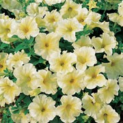 'Prism Sunshine' F1 is a dwarf, spreading annual with large single trumpet-shaped white flowers prominently veined yellow in summer.  Petunia grandiflora 'Prism Sunshine' added by Shoot)
